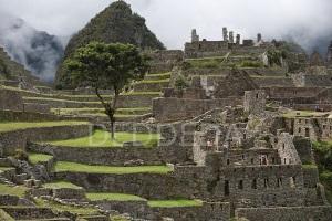 tree-machu-picchu-peru-inca-ruins